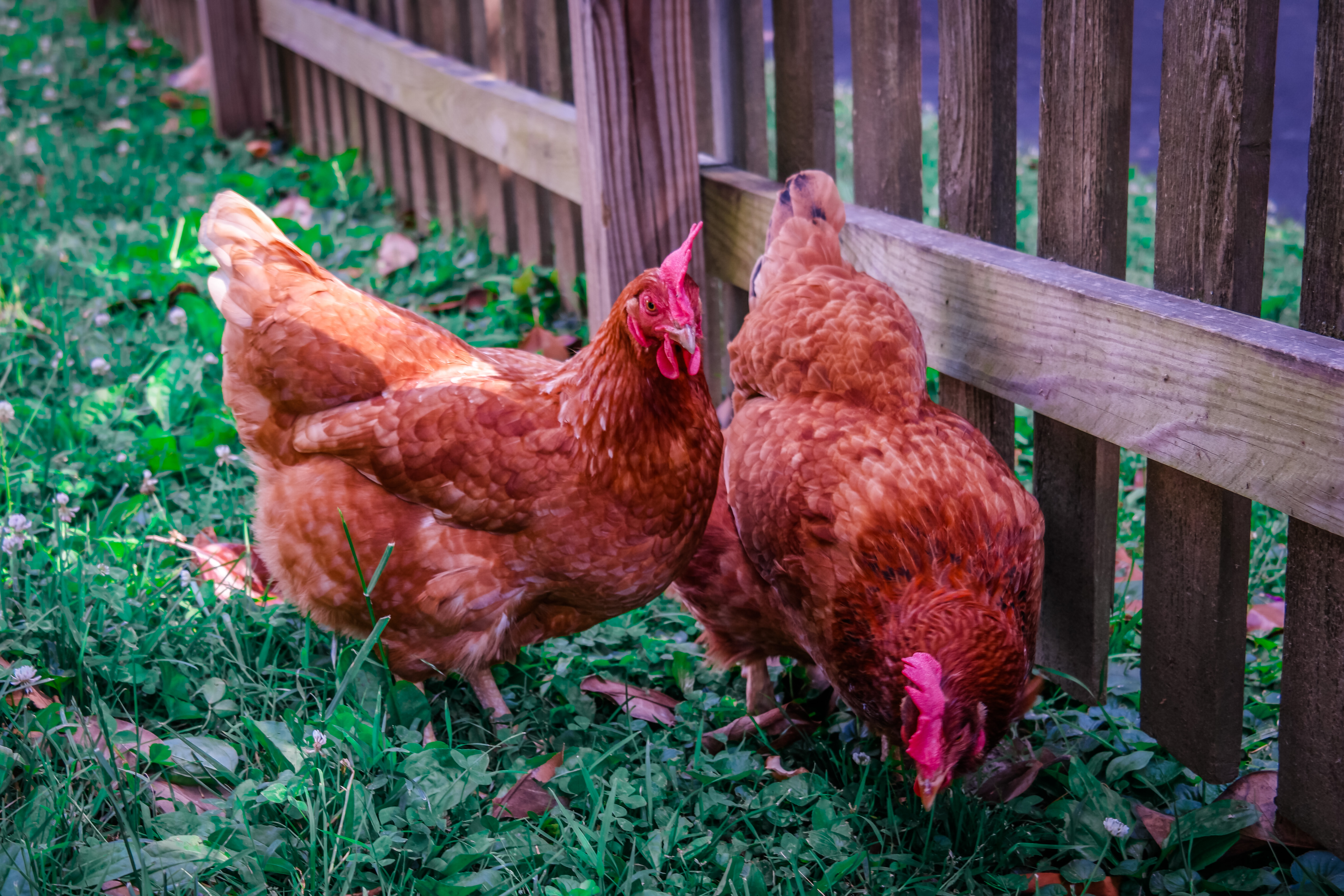 The Joy of Raising Backyard Chickens as Family Pets